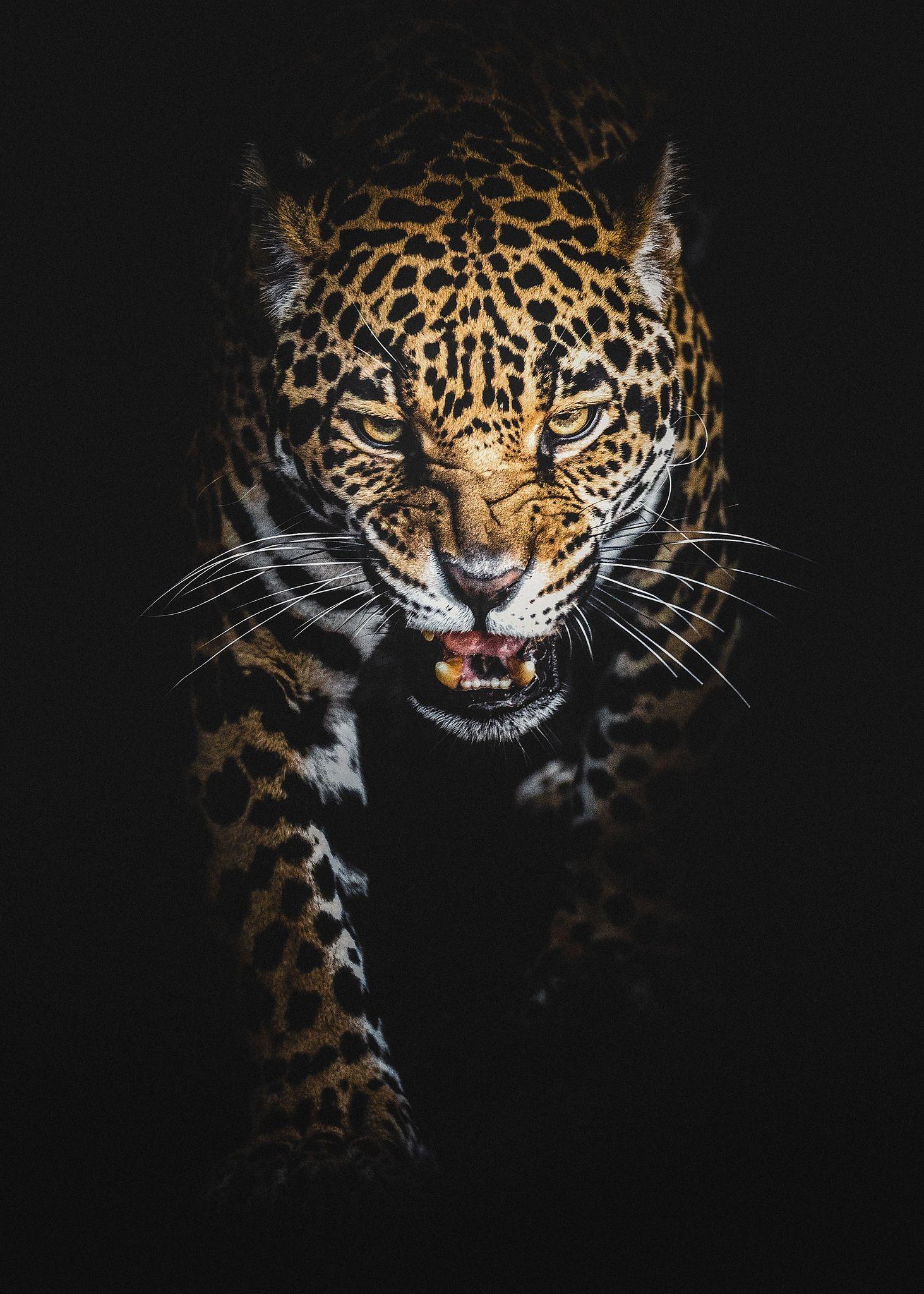 The Jaguar Jaguar Animal Animals Animals Wild
