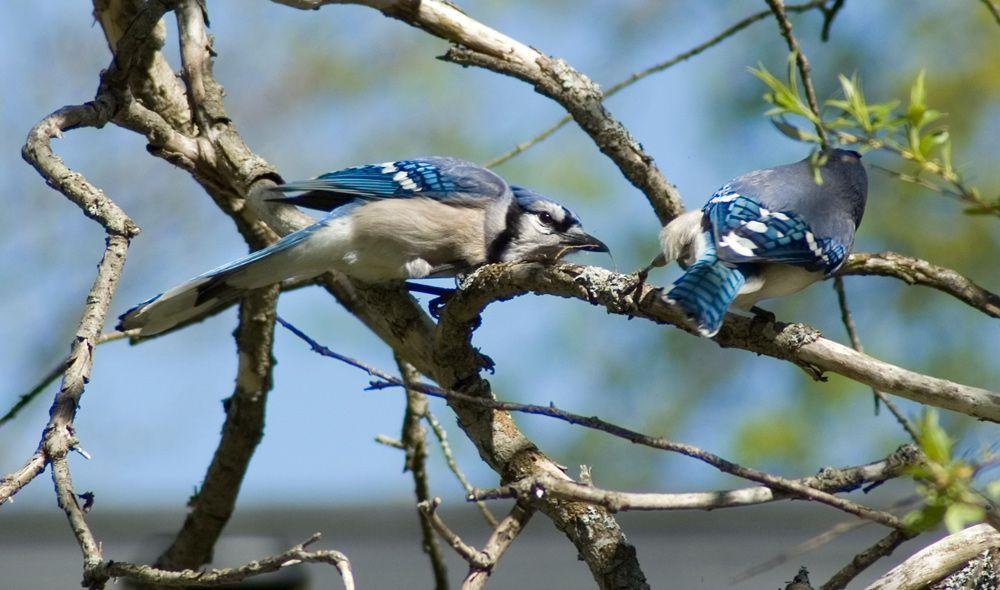 Blue Jays, Nature Photography,