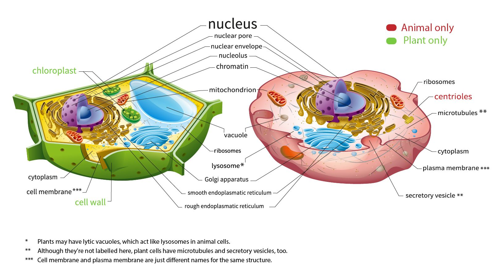 Here S How Plant And Animal Cells Are Different