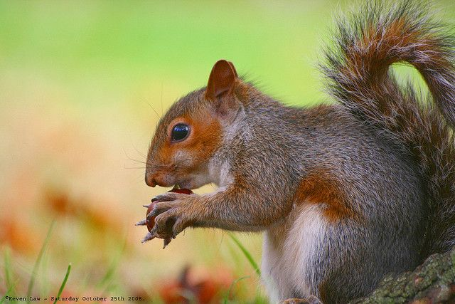 Well....if nobody wants to play Conkers with me...I'll eat em instead...:O)))) by law_keven, via Flickr