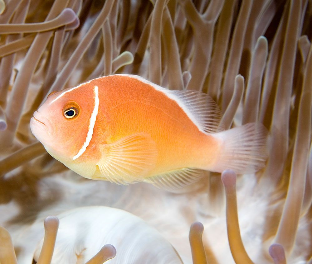 Saltwater fish pink strip skunk clown