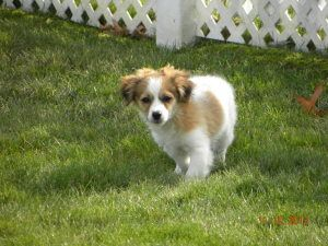 Adopt Pretzel In Ohio On Petfinder Havanese Havanese Dogs Pets