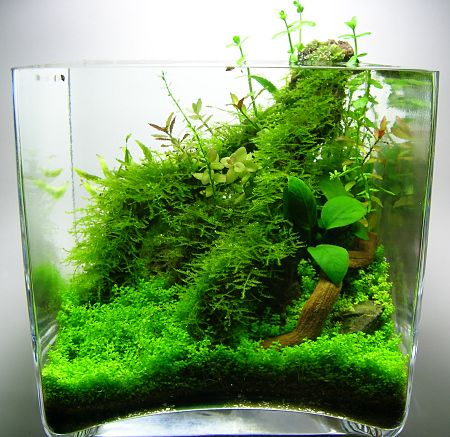 great hc carpet lovely stump covered in a variety of stems and anubias i love how jungly it. Black Bedroom Furniture Sets. Home Design Ideas