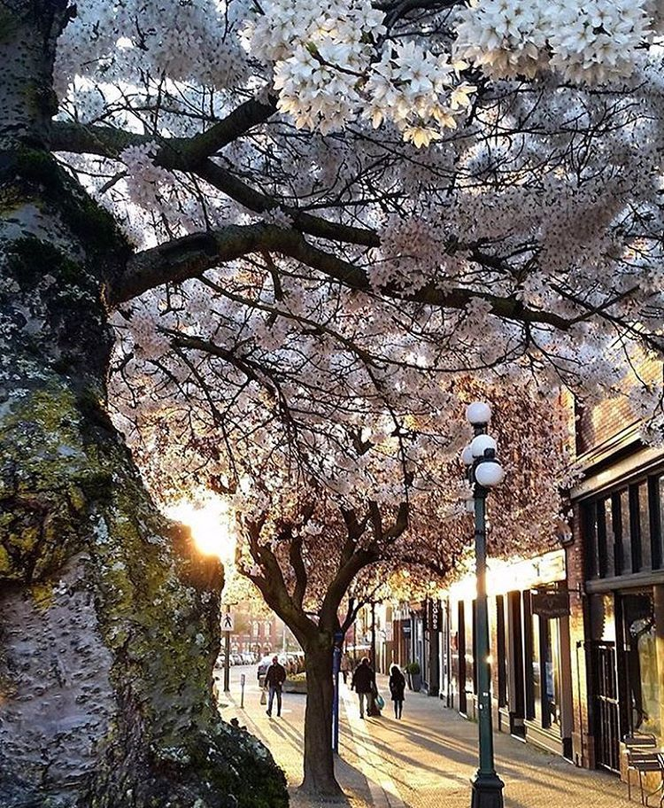 Cherry Blossoms Victoria Bc Kendraastew Spring In Paris Cherry Blossom Instagram