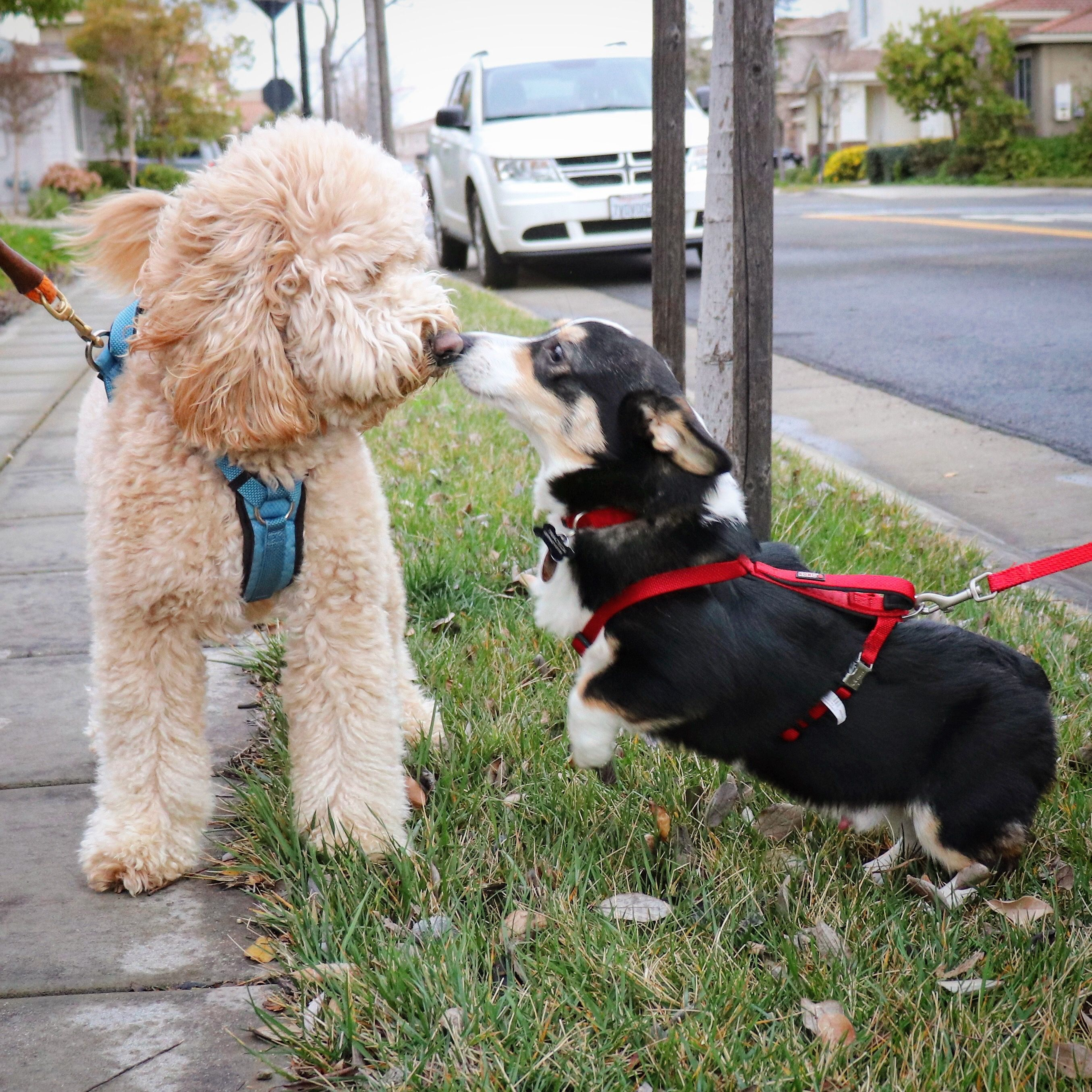 Goldendoodle And Corgi With Images Miniature Dachshunds
