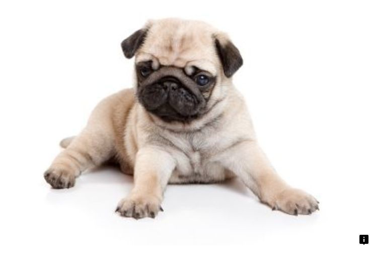 Click The Link To Learn More Pug Puppies Price Check The Webpage
