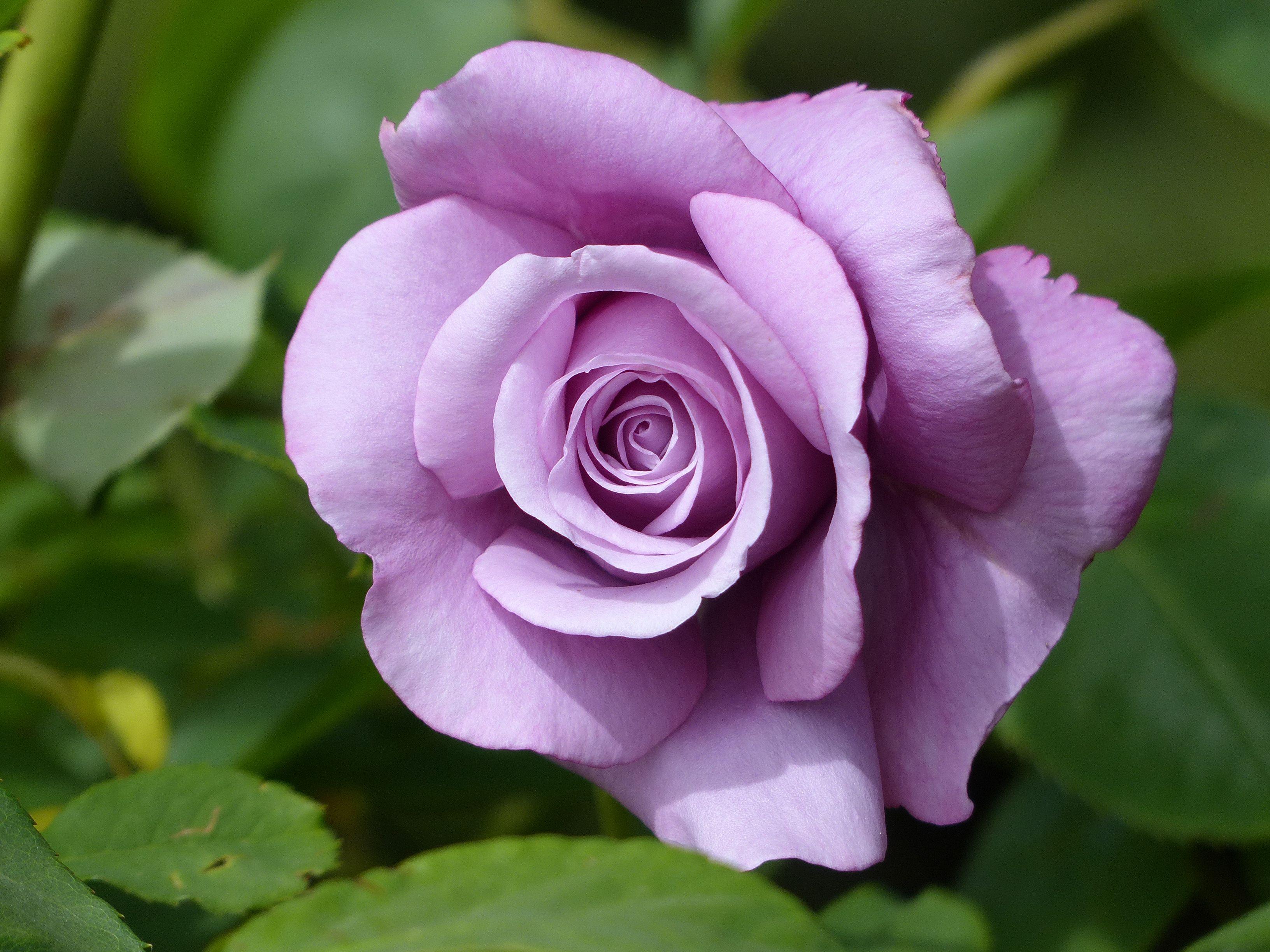 половина красивая сиреневая роза фото года год
