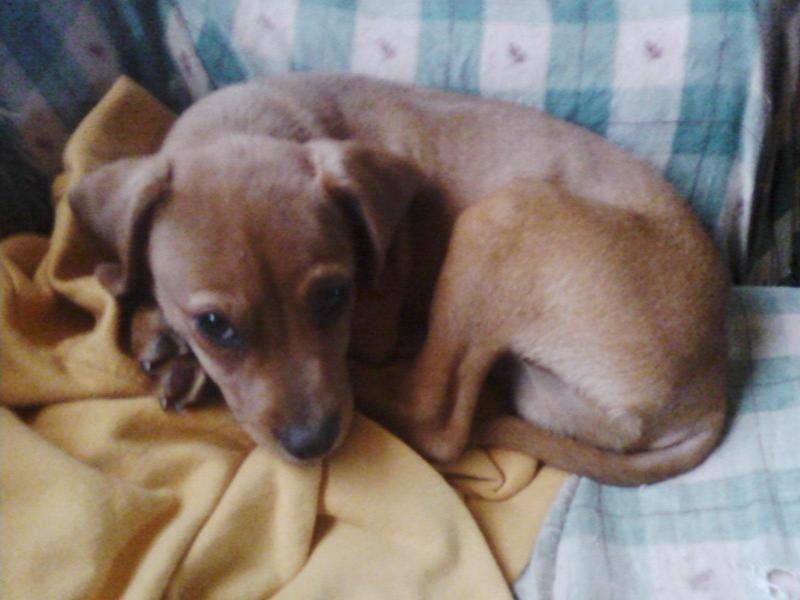 Adopt Charlie On Adoptable Dachshund Dog Dogs Dachshund
