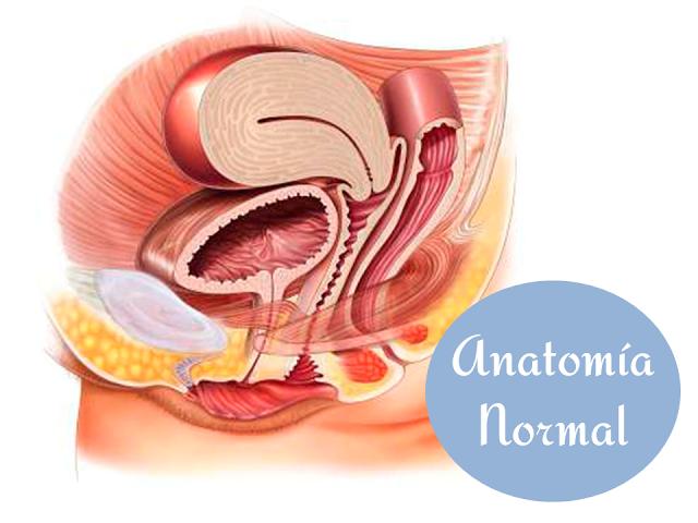Anatomía normal de los órganos pélvico femeninos. | Preparación al ...