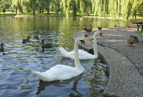 boston swan boats | external image boston-swan-boats-7.jpg