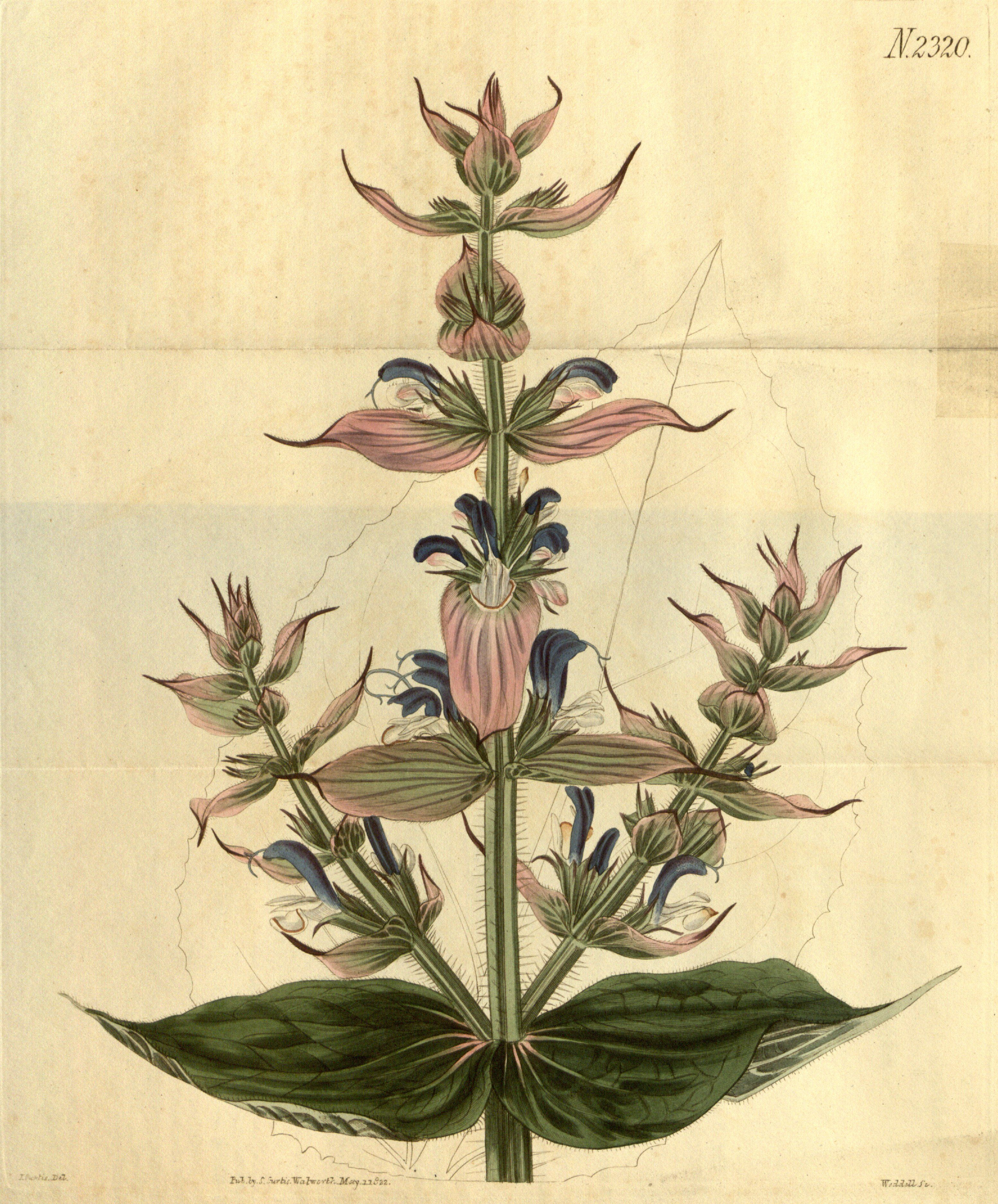 Salvia bracteata - circa 1822