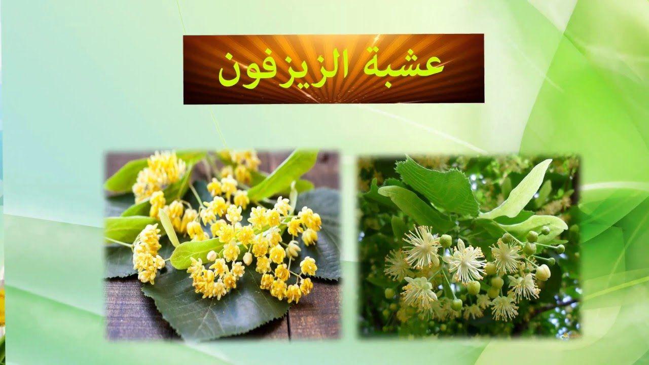 أهم فوائد الزيزفون للأعصاب موسوعة Natural Medicine Herbs Health