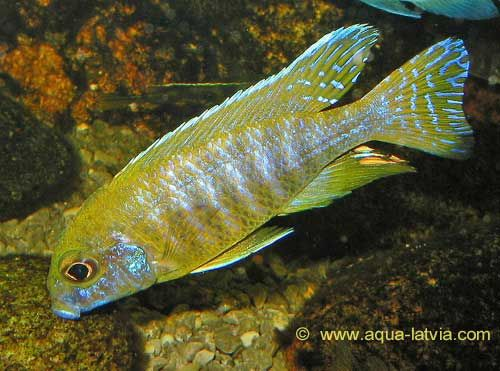 Yellow Regal Peacock Cichlid Aulonocara Baenschi Cichlids African Cichlids Fish Pet