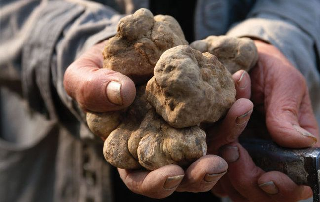 Truffle hunting in Piemonte