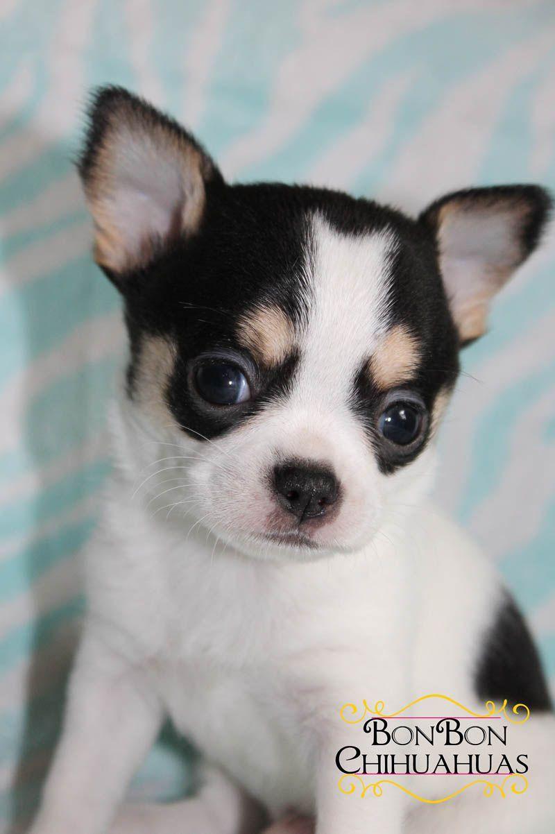 Akc Applehead Chihuahua Puppy Chihuahua Chihuahua Puppies For