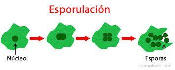 Endosporas reproduccion asexual de las plantas