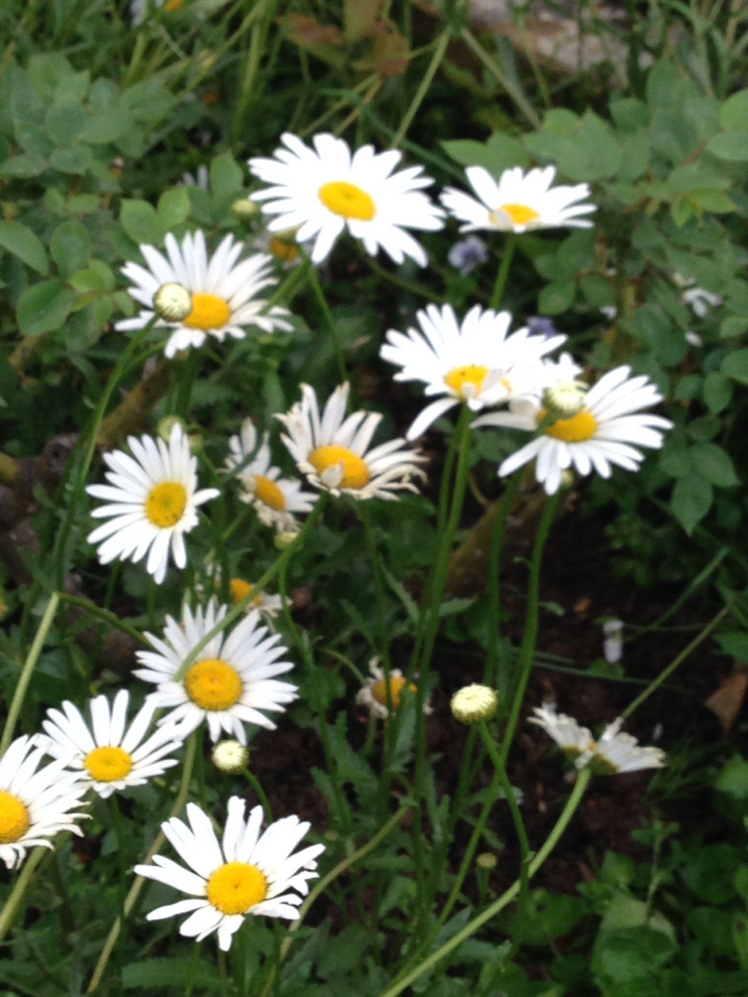 Wild Daisies Julias Garden Pinterest Wild Flowers And Gardens