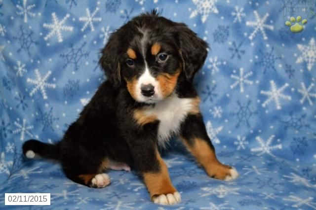 Tyrone Bernese Mountain Dog Puppy For Sale In Dundee Oh Bernese Mountain Dog Puppy Bernese Mountain Dog Puppies