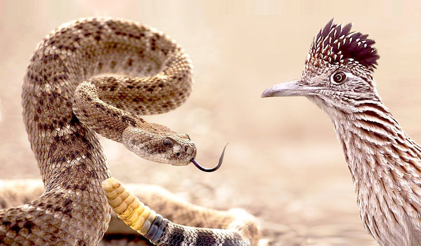 Roadrunner a bird attacks rattle snake - an exclusive video filmed while fight between a bird and a snake.