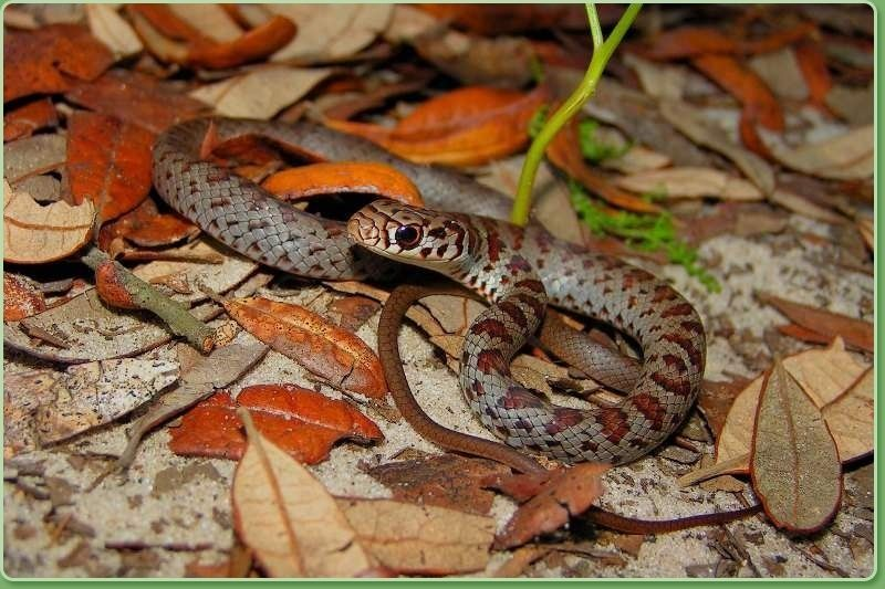 The most misidentified snake in south Florida is also the