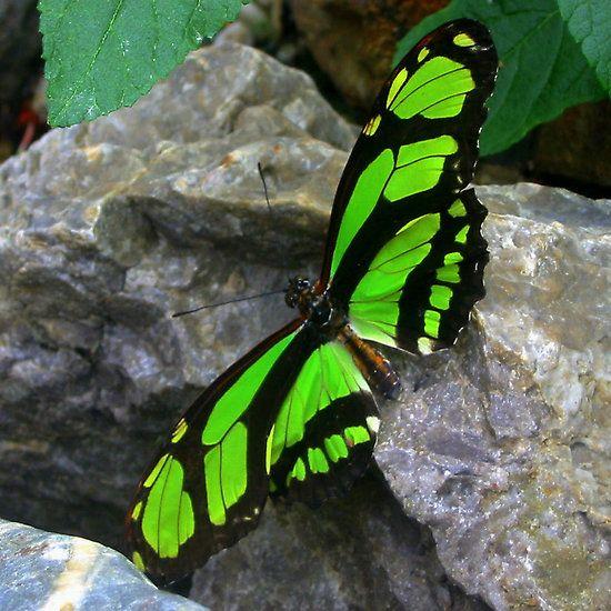 Farfalla verde sulla roccia. | Mariposas verdes, Fotos de ...