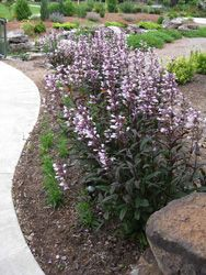 PENSTEMON (DARK TOWERS) | Dark Towers Penstemon Is Becoming A Mainstay Of  The Perennial