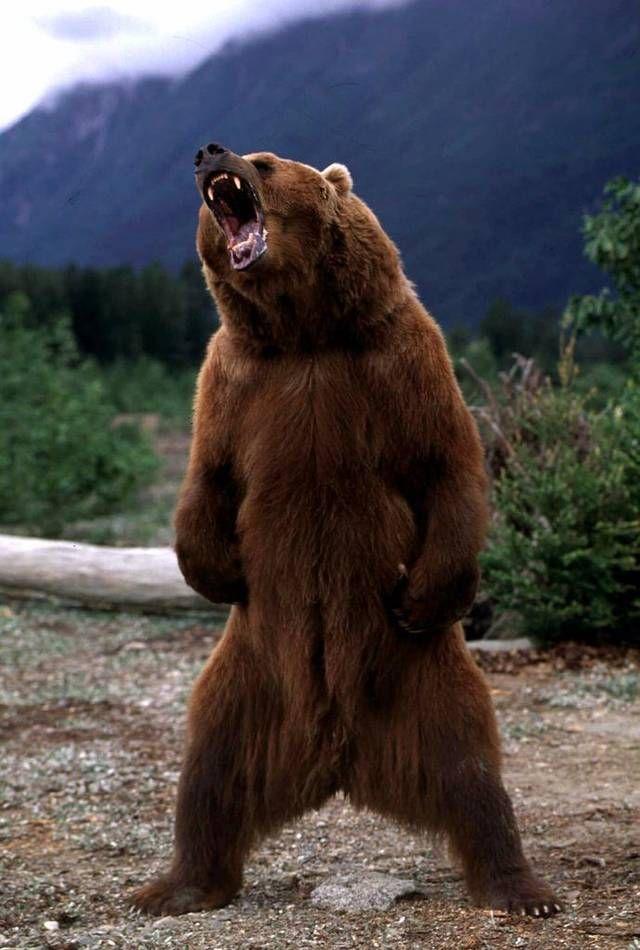 PsBattle: Grizzly bear growling | osos | Pinterest | Osos, Otoño y ...