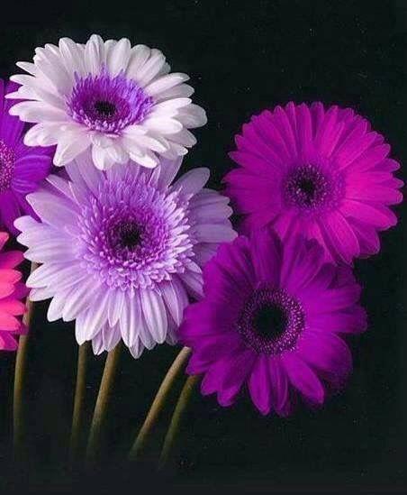 Purple Flowers Gerbera Daisy Colors Daisy Flower Pretty Flowers