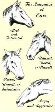 Horse ear positions the language of ears horses mules donkeys pinterest equestrian and tips also rh