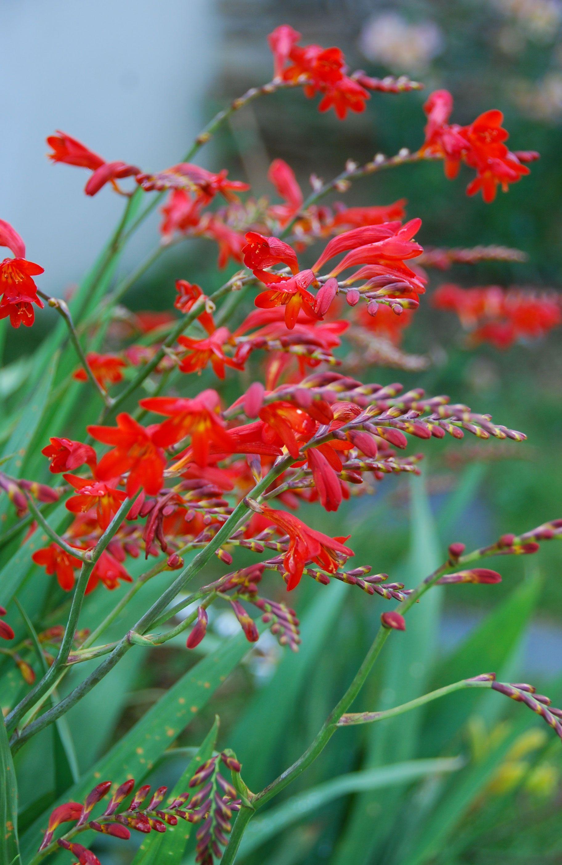 Crocosmia Lucifer Montbretia Fleur Rouge Ete Jardin Bulbe