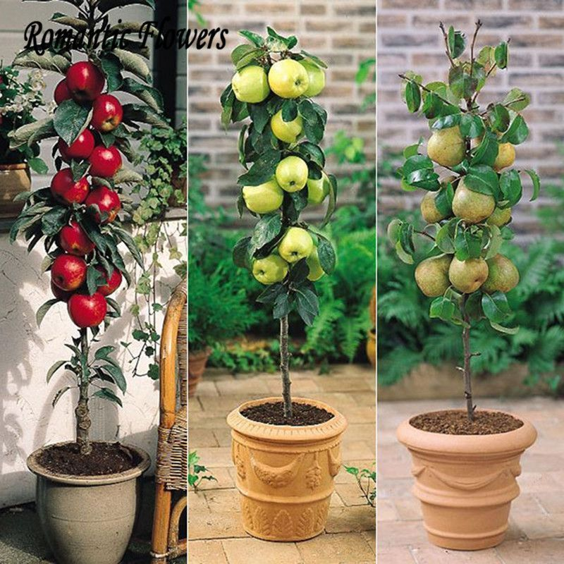 30pcs Apple Bonsai Fruit Trees Of Rare Bonsai Tree America Red Delicious Apple Seed Planted Garden Pots Potted Trees Dwarf Fruit Trees Patio Fruit Trees