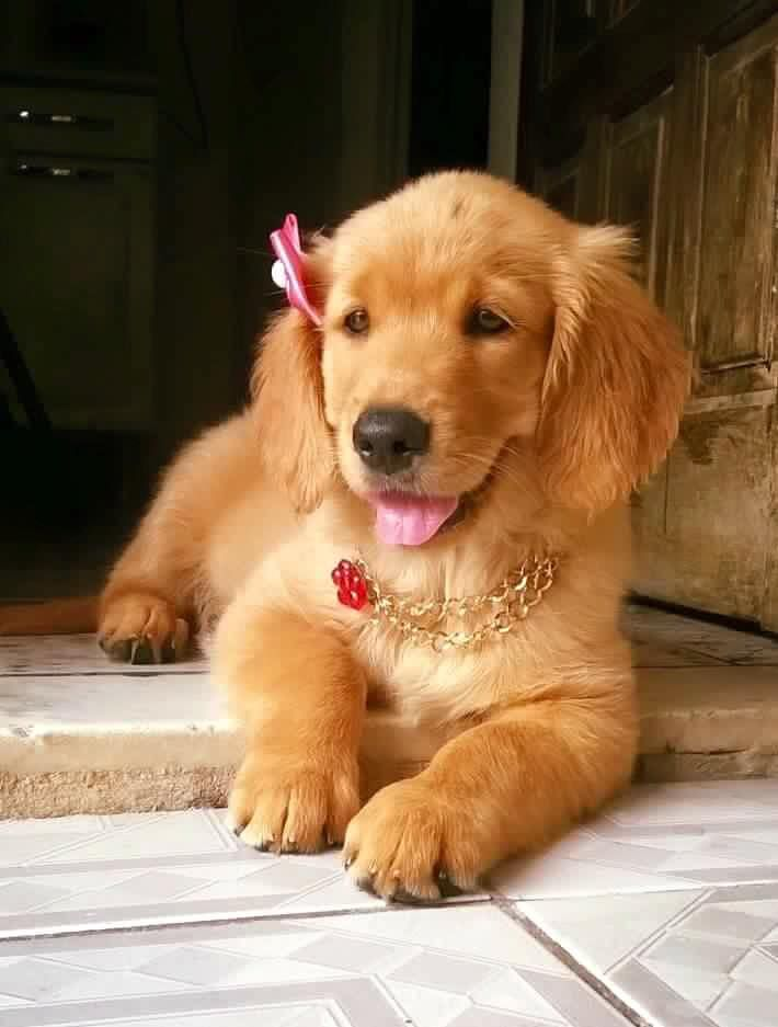 Golden Retriever Dogs Cute Puppies Retriever Puppy