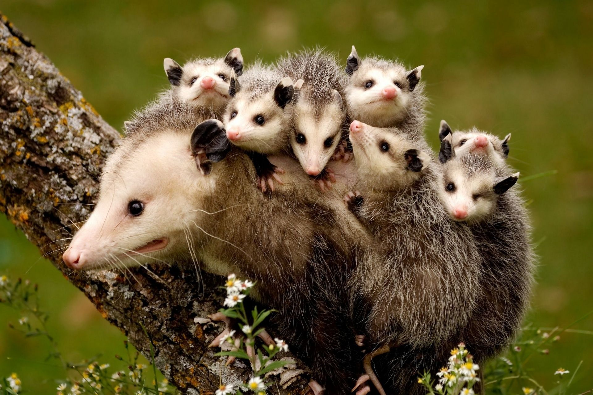 Opossums are North America's only marsupial and are ...