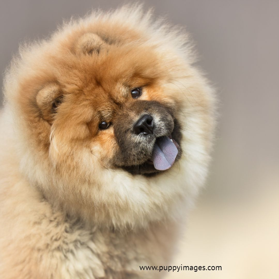 Chow Chow Smile Puppy Dog Images Fluffy Dogs Dogs