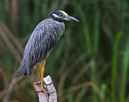Yellow Crowned Night Heron Stephen Pollard Fort Bend