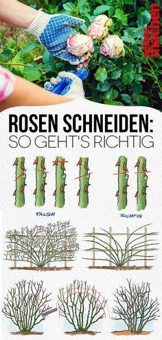 Photo of Rosen schneiden: So geht's richtig