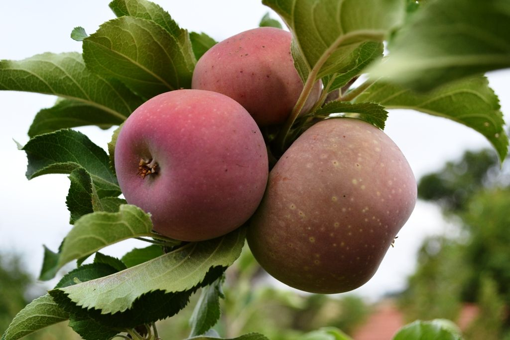 Heirloom Fruit Trees For Home Farm Trees Of Antiquity Rooted Organic Fruit Apple Tree Fruit Trees