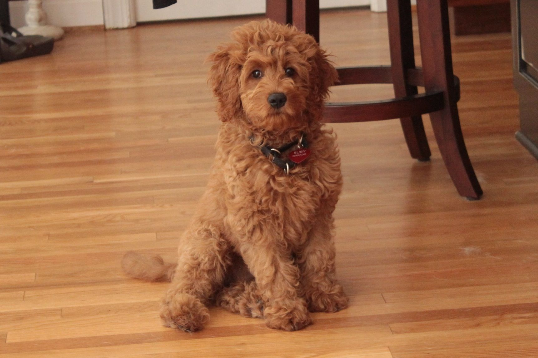 Mini Goldendoodle Ruby With Images Really Cute Dogs