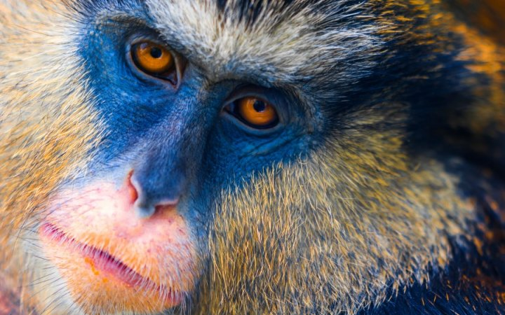 What S The Difference Between Apes And Monkeys Pet Monkey Monkey Species Types Of Monkeys