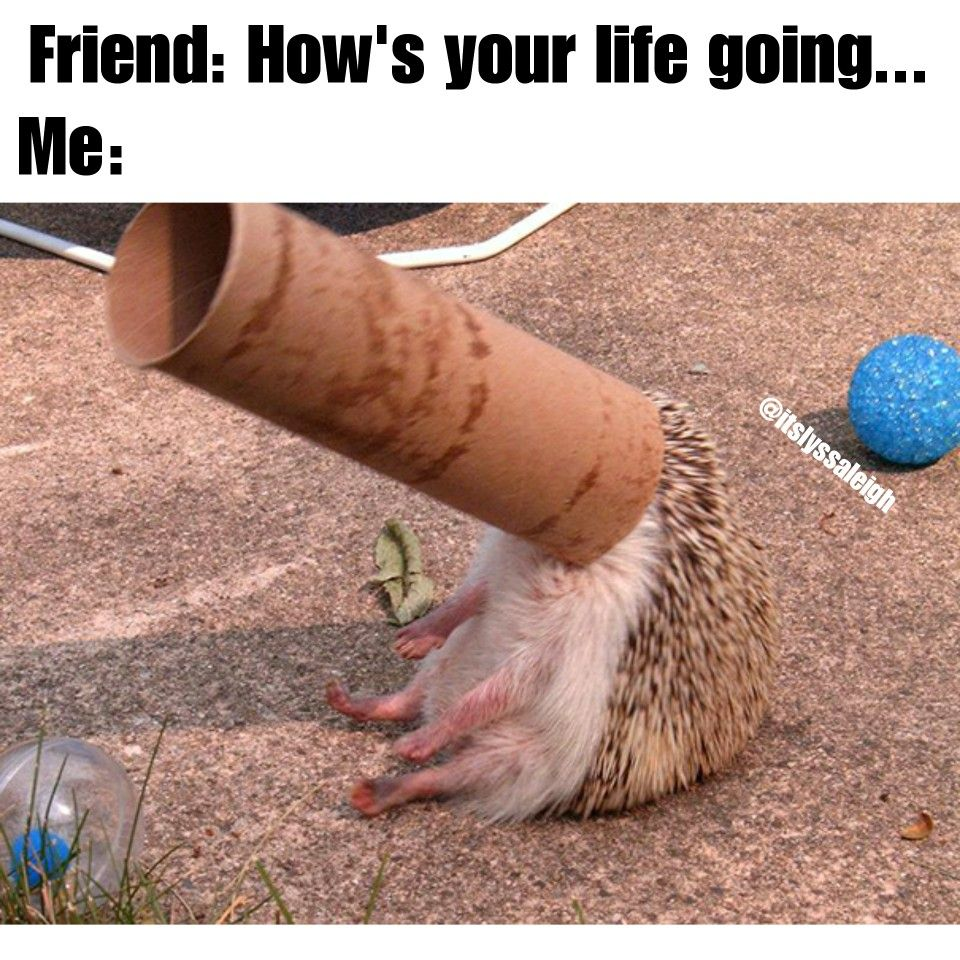 How Is Your Life Going Memes By Itslyssaleigh Instagram Itslyssaleigh Funny Animal Fails Funny Hedgehog Cute Hedgehog