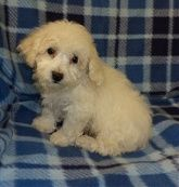 Maltipoo Maltipoo Puppies For Sale Puppies For Sale Puppies