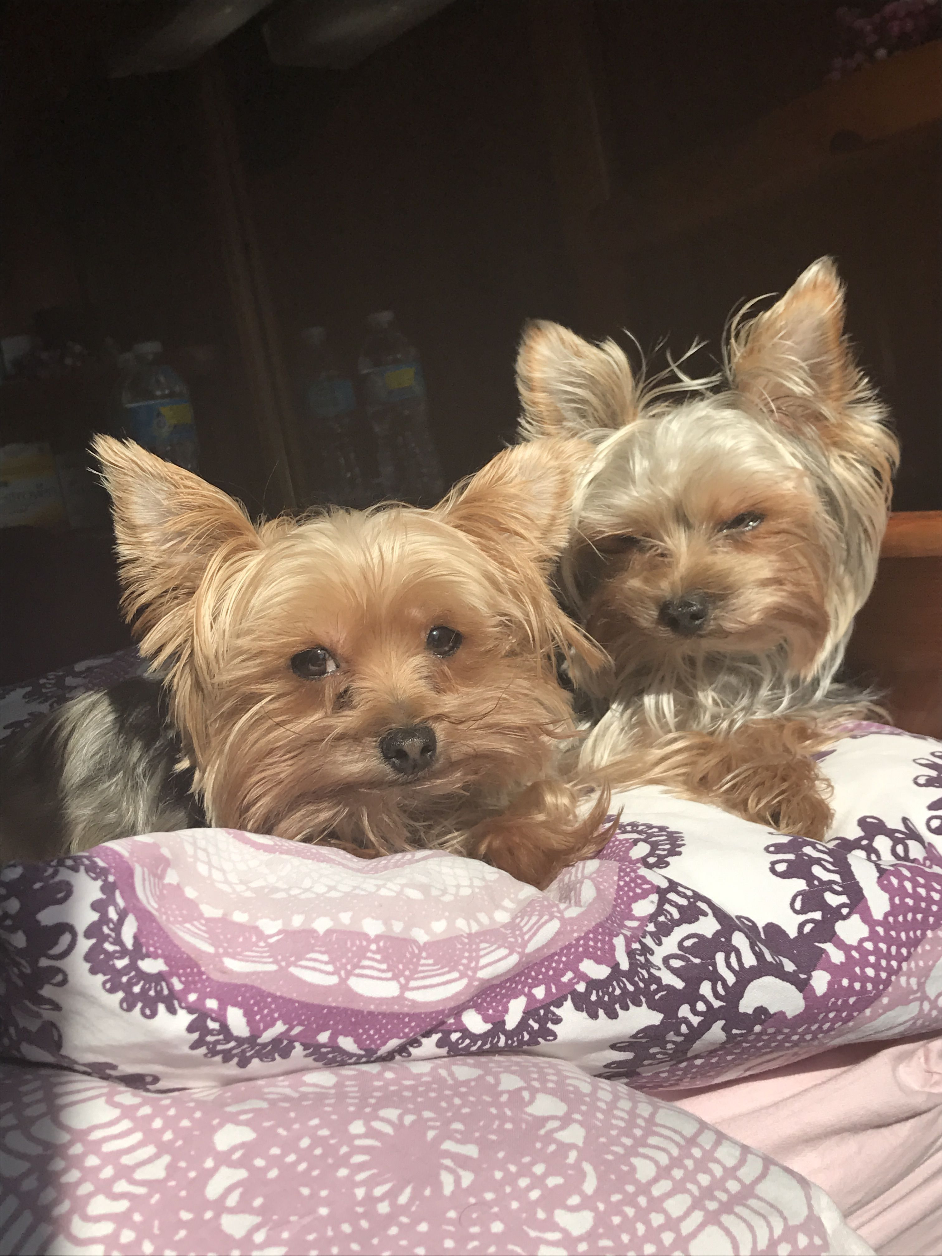 Boo And Gizmo Yorkshire Puppies Yorkshire Terrier Yorkshire Terrier Puppies