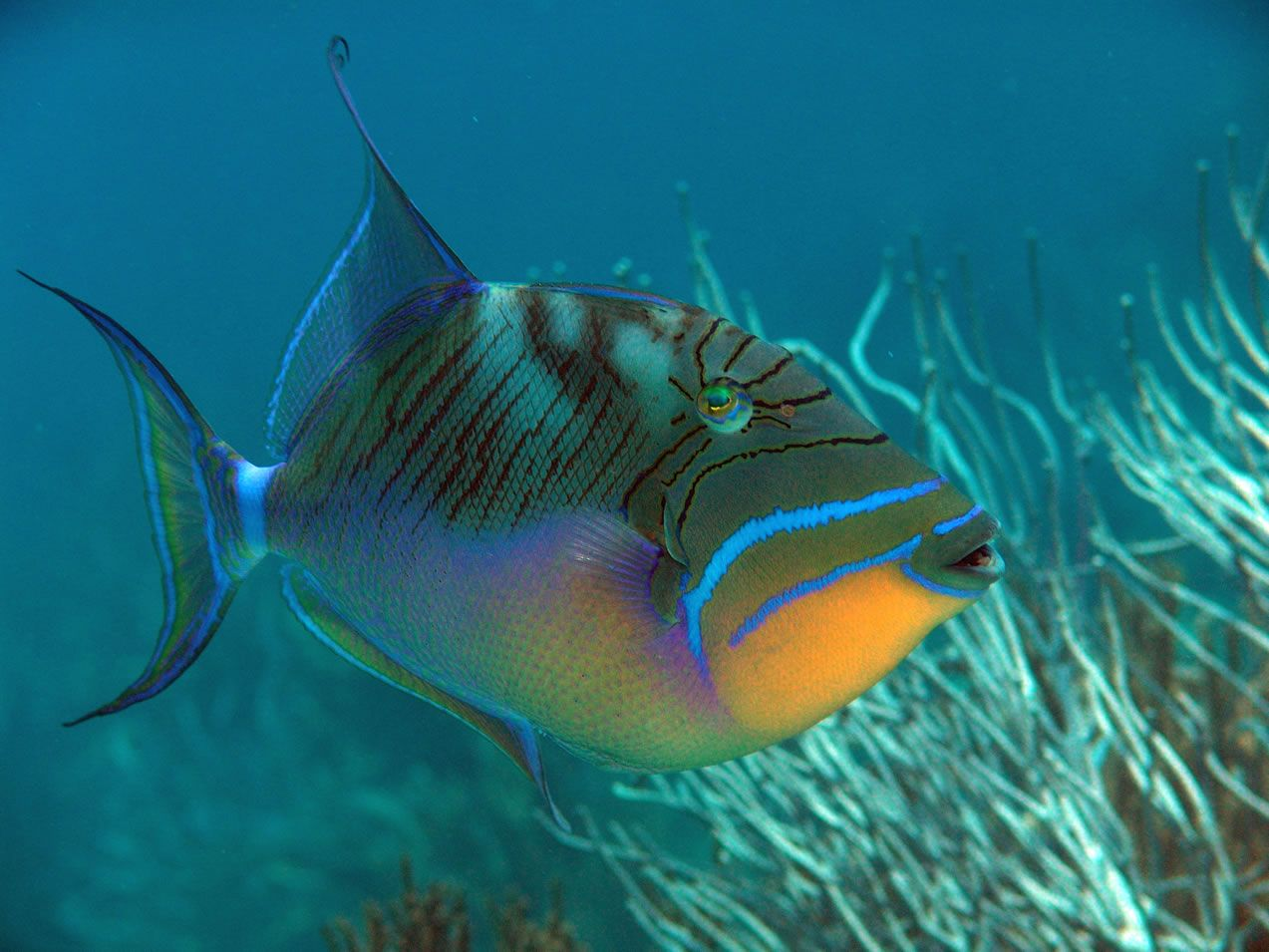 Trigger Fish Ocean Creatures Saltwater Aquarium Fish Sea And Ocean