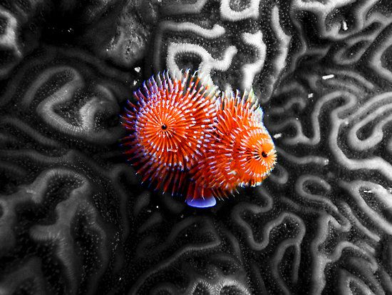 contrast of the dring Christmas Tree Worms on Brain Coral by