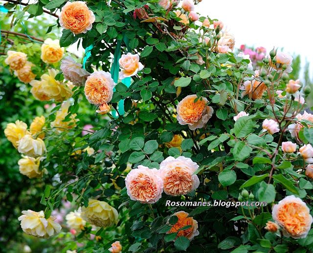 I have been really busy this spring, and I am sorry to say I have not taken as many pictures of my roses as I usually do. But here are some ...