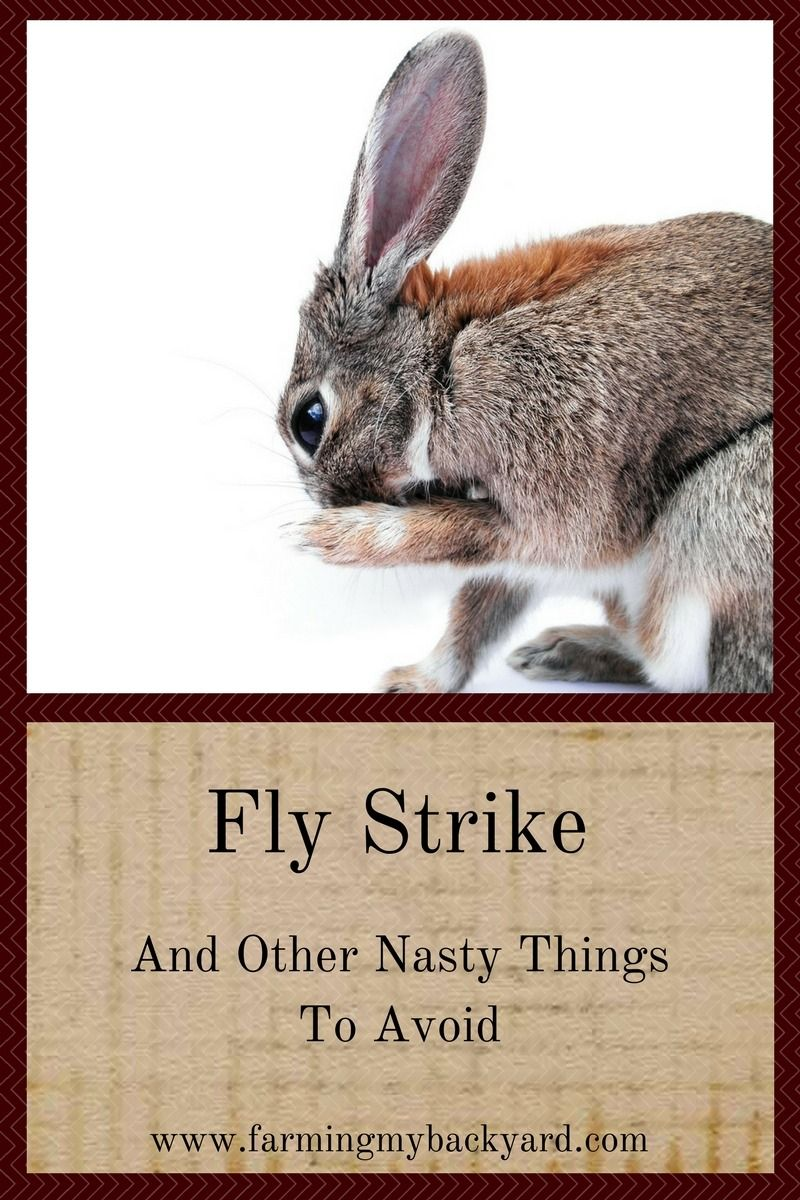 Fly Strike And Other Nasty Things To Avoid - Meat rabbits, Backyard farming, Animals, Meat rabbits breeds, Raising rabbits, Pets - Fly strike and ear mites in rabbits can be a real disaster  Here's how to prevent and treat them just in case your rabbitry is affected