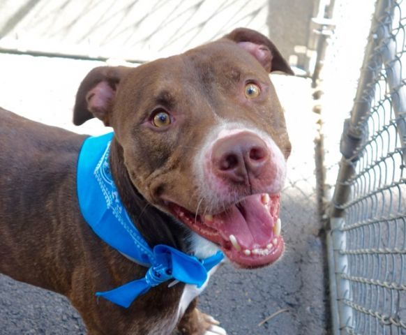 Manhattan Center KING – A1050301 MALE, RED / WHITE, AM PIT BULL TER MIX, 3 yrs OWNER SUR – EVALUATE, NO HOLD Reason PERS PROB Intake condition EXAM REQ Intake Date 09/04/2015