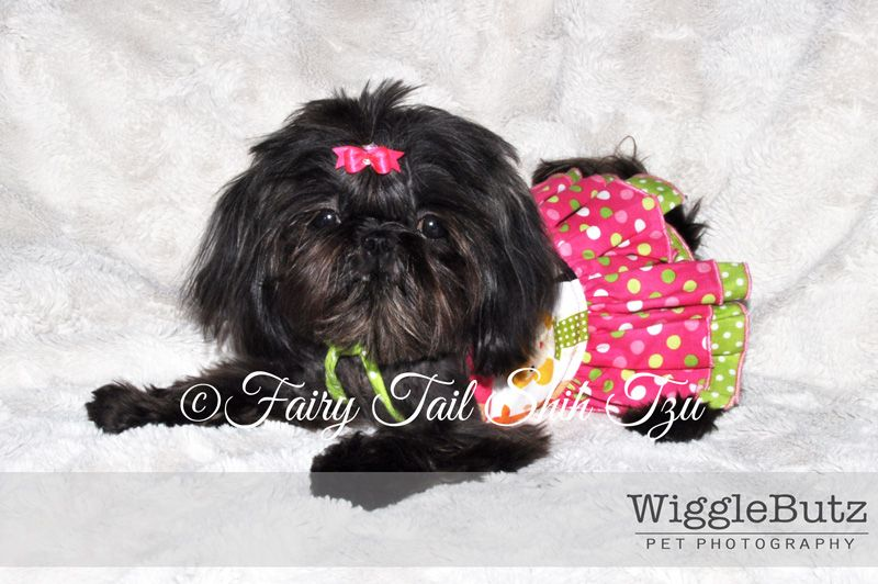 Koi Solid Black Female Tiny Teacup Imperial Shih Tzu Puppies For