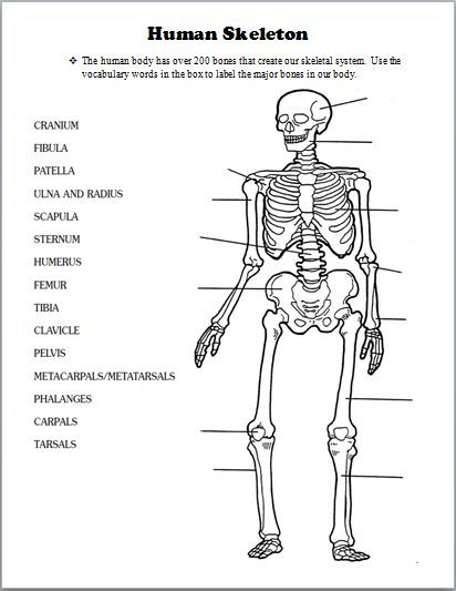 human bone structure diagram rj45 wiring cat5e label schematic image result for teacher handouts skeleton without labels long