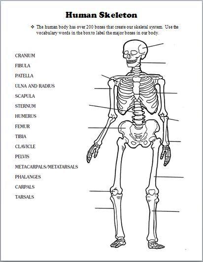 Image result for teacher handouts skeleton diagram without labels ...
